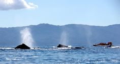 Group of male Humpback whales, Whale Watching Photo Safari by Vallarta Adventures  |   Puerto Va