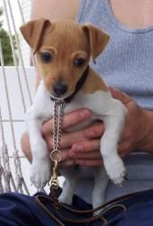 Riley is an adoptable Rat Terrier Dog in Milford, NJ. Riley and her sisters ( Reagan~ADOPTED