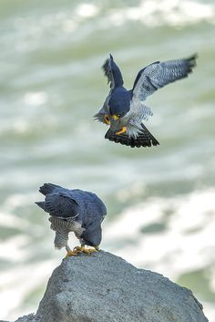 Falcó pelegrí - Halcón peregrino - Falco peregrinus - Peregrine Falcon - Wanderfalke - Faucon pèlerin