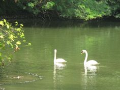 The Swans of Swan Lake!  :)!