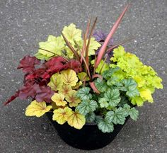 TERRA NOVA® Nurseries - Container Recipes |  Heucheras 'Mahogany,' 'Mint Julep,' 'Delta Dawn,' 'Paris,' and 'Lime Rickey.'