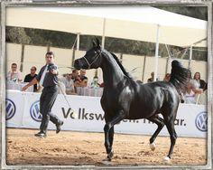 Champion black Arabian mare WCR Black Diamond (Bellagio RCA x Black Pearl WP by Thee Desperado), owned by Chen Noff of Israel, Leased by Kathleen Olsson of Sweden. #bellagiorca #theedesperado