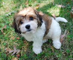 Cavachon, I will own one of these,