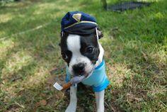boston terrier. facebook.com/franklinthedog