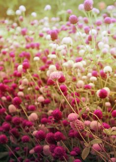 Globe amaranth or gomphrena Pink Flowers, Beautiful Flowers, Colorful Roses, Globe Amaranth, Dream Garden, Garden Inspiration, Mother Nature, Planting Flowers, Plants