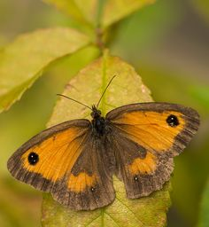 Can Anyone Comfirm This Is A Gatekeeper Please Beautiful Butterflies Moth Butterfly