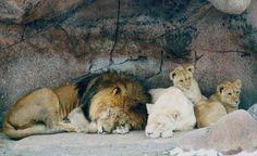1000 shoes white lion animal wikipedia