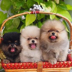 What cute Poms