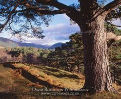 A Scots Pine Tree and remnant of the Caledonian Forest, Glen Lyon, Perth and Kinross, Scotland, UK.