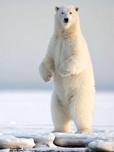 Home / Twitter Arctic Animals, Nature Animals, Baby Animals, Cute Animals, Bear Photos, Bear Pictures, Animal Pictures, Pictures Of Polar Bears, Save The Polar Bears
