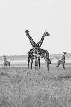 Giraffe in the Serengeti, Tanzania, East Africa