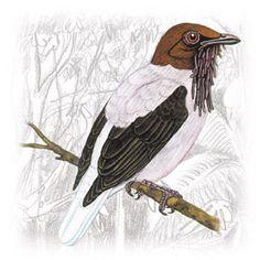 Araponga do Nordeste (Procnias averano)