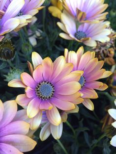 The indigenous Cape Daisies, Osteospurmum, herald the new spring with masses of flowers #WaterWise and easy to grow in full sun
