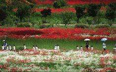 poppy garden at Simhak Mountain, Paju-si, Gyeonggi-do