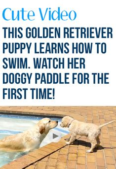 12-week-old Golden Retriever puppy, Lexi, takes her swimming cue from 2-year-old Golden Retriever, Toby. So cute! #dogs #pets