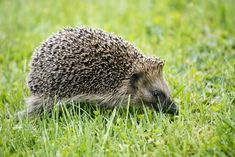 Closeup shot of a cute hedgehog walking ... | Free Photo #Freepik #freephoto #summer #green #nature #animal Green Lawn, Green Grass, African Hedgehog, Green Cups, Cute Hedgehog, Bokeh Background, Watercolor Leaves, Natural Garden, Run Around