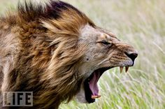 After a day of chasing dinner in the Massai Mara grasslands of Kenya, a lion yawns, ready for his rest.