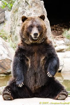 Grizzly bear sitting up - photo#40