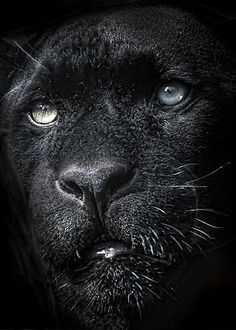How hard would this be to photography a black cat, with black background and show definition. Amazing.