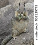 Cute ground squirrel at Lovers' Point, California, USA