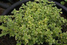 Plantas aromáticas, medicinais e condimentares: Tomilho-limão variegata