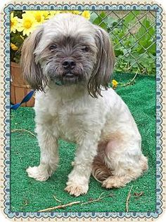 ((SUPER URGENT)) Act quickly to adopt . Pets at this Shelter may be held for only a short time.Marietta, GA - Shih Tzu Mix. Meet BAILEY a Dog for Adoption.