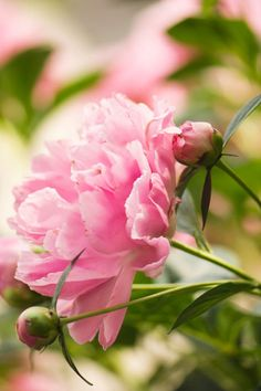 Lovely early-summer bloomers! Once established, peonies are winter hardy, relatively pest-free, and can live for 50 years or longer.