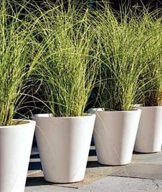 love the modern clean look of ornamental grasses in the same pots