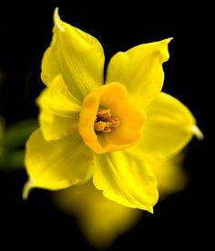 daffodil flower for march Daffodil Flower, My Flower, Flower Art, Flower Power, Amazing Flowers, Yellow Flowers, Spring Flowers, Beautiful Flowers, Beautiful Life