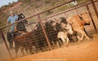 www.martinaburianova.cz Horses - Arizona, Wickenburg - Roping