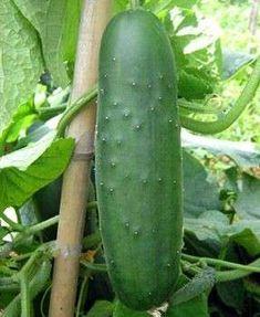 Huerto casero: Qué plantar en casa - Cultivo de pepinos en casa