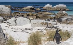 Penguins at Boulders Beach, Simonsatown. Cape Town | Southafrica