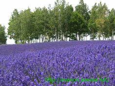 Lavender Fields in Hokkaido, JP