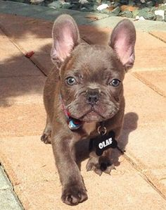 "Click visit site and Check out Cool ""French Bulldog"" T-shirts. This website is outstanding. Tip: You can search ""your name"" or ""your favorite shirts"" at search bar on the top."