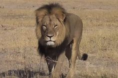 WATCH: Darted lion wakes up in Zim… as huge crowd gathers - http://zimbabwe-consolidated-news.com/2017/02/12/watch-darted-lion-wakes-up-in-zim-as-huge-crowd-gathers/