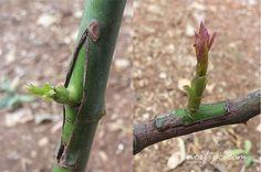 Fotos de los dos injertos en las plantas de rosa, con los dos retoños creciendo exitosamente
