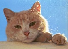 Pretty Animals, Cute Baby Animals, Animals And Pets, Funny Animals, Kittens Cutest, Cats And Kittens, All Cat Breeds, Orange Kittens, Ginger Cats