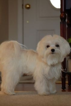 maltese puppy haircuts | ... babies in their haircuts - Maltese Dogs Forum : Spoiled Maltese Forums: