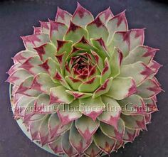 Sempervivum calcareum - Silvery grey-green rosettes to 20cm wide. Leaves have deep crimson tips. Protect from full summer sun.