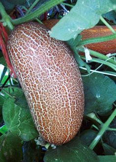 Hmong Red Cucumber.The cucumber is whitish green when young but turn orange brown when riped