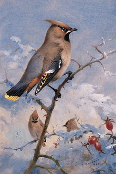 Three Waxwings On A Rose In Winter
