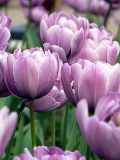 Tulips Garden, Daffodils, Amazing Flowers, Beautiful Flowers, Purple Tulips, Love Garden, Flower Quotes, Colorful Garden, Flowering Trees