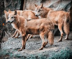 Tibetan wolves (Canis lupus chanco) by Srimoy Bhattacharya