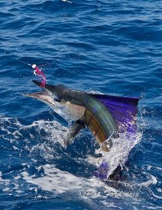 pat-ford-sailfish-on-fly-24