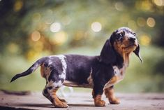 "Dachshund Parade - past: ""Ding Ding"" (temporary name) So this is..."