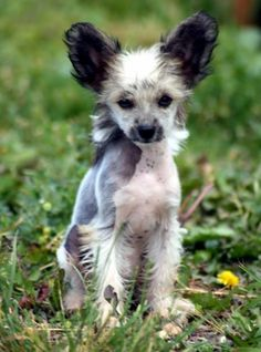 Chinese Crested Puppies If I get a 2nd one want it to have the colors like this