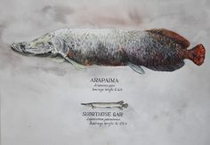 Comparative study of Arapaima and shortnose gar.