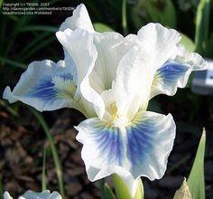 Gentle grace dwarf iris