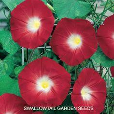 These Scarlet O' Hara Morning Glory flowering vines will look fantastic running underneath the bedroom window.  <3