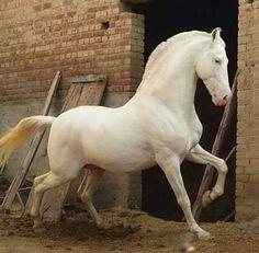 Stunning white prancing horse.